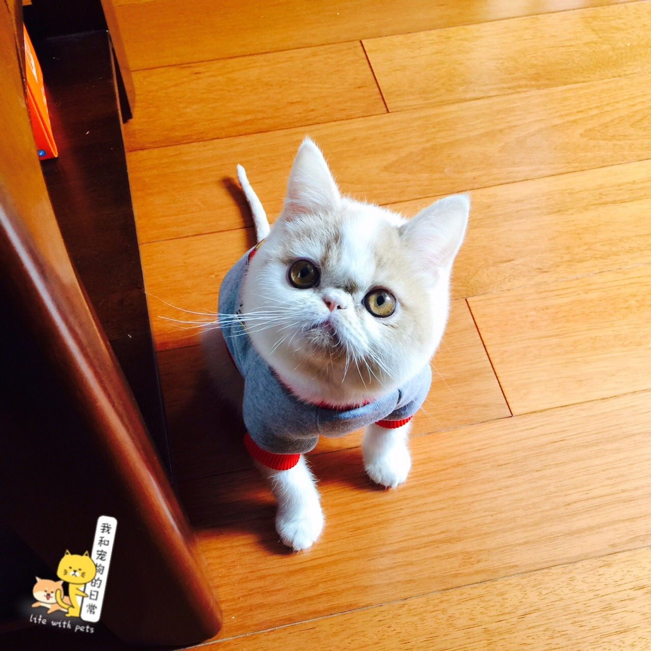 一个蠢萌蠢萌的加菲猫 记得刚买回来时猫藓 鼻支 肠胃等问题 让我这个