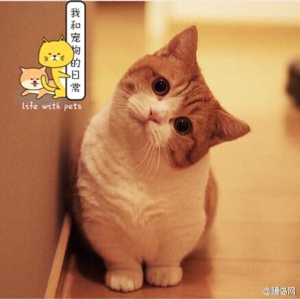 曼赤肯猫_怎么样_这个可爱的短腿小猫并不是我的猫_宠物-小红书